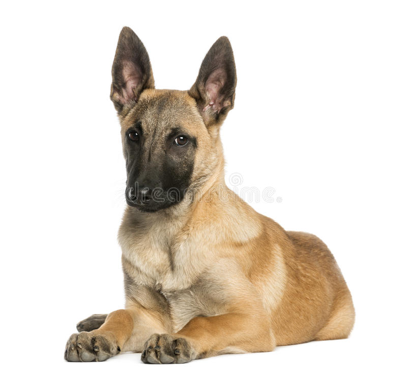 Young Belgian Shepherd Lying Down And Staring, 5 Months Old Royalty Free Stock Image