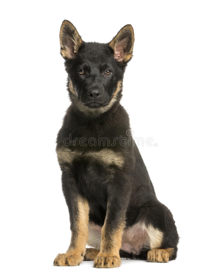 Young Belgian Shepherd Sitting And Staring, 10 Months Old Stock Image