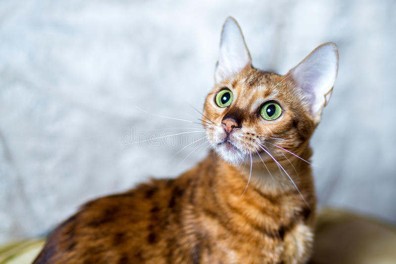 Young Bengal cat. Bengal cat with green eyes royalty free stock images