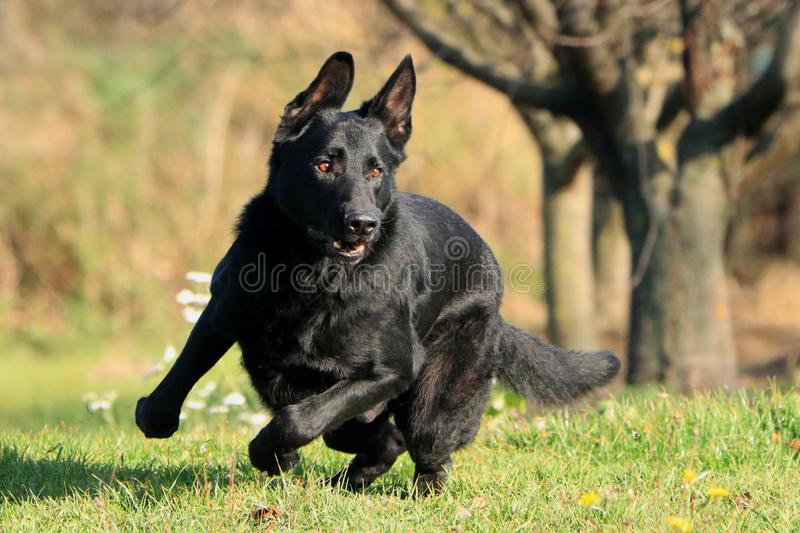 Young big black dog German Shepherd gallop outside across garden park, meadow maybe behind the cat, hare, rabbit or ball. Because his run is fast, his paws are stock photos