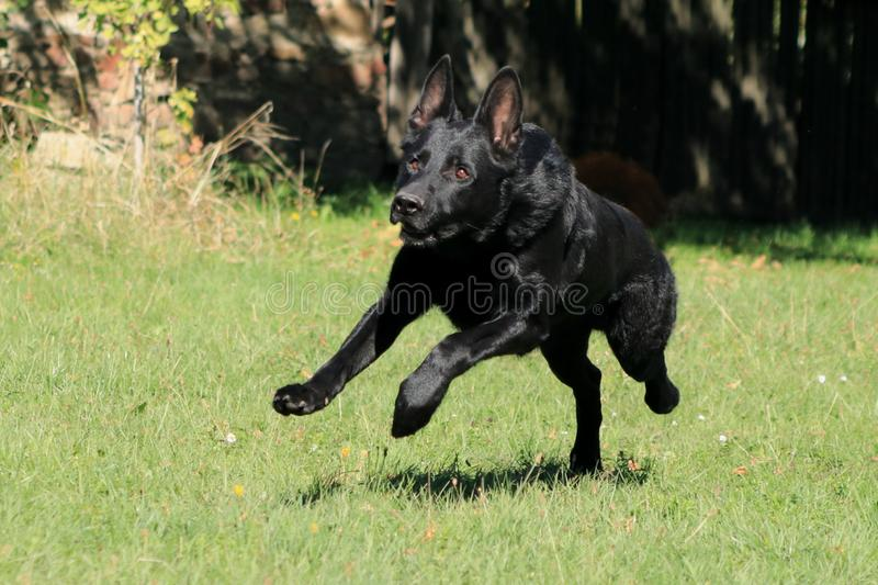 Young big black dog German Shepherd passionate gallop outside across garden park, meadow to his master with love. He is avid, fanatic and enthusiastic, his royalty free stock images