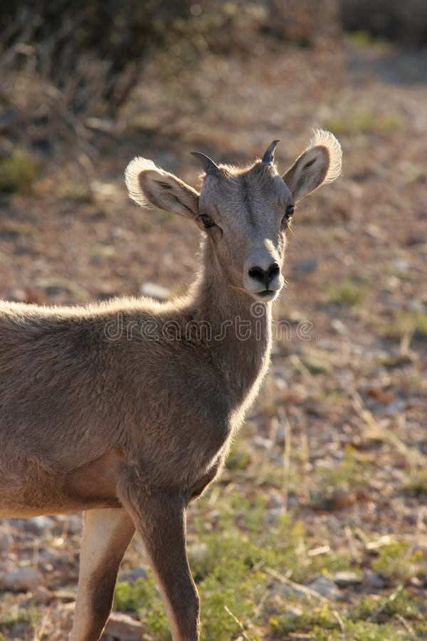 Free Young Bighorn Sheep Royalty Free Stock Photography - 206367