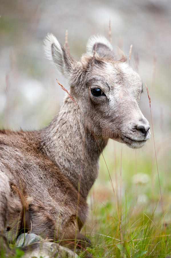 Free Young Bighorn Sheep Stock Images - 24298874