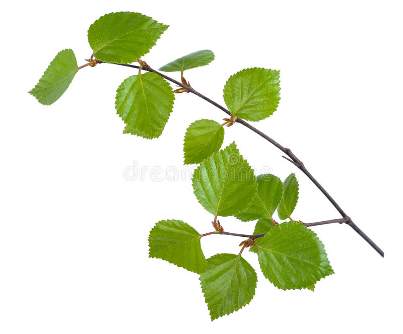 Young birch branches royalty free stock images