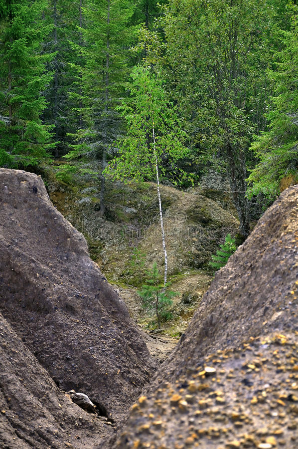 Download Young Birch In A Ravine Royalty Free Stock Image - Image: 20743476