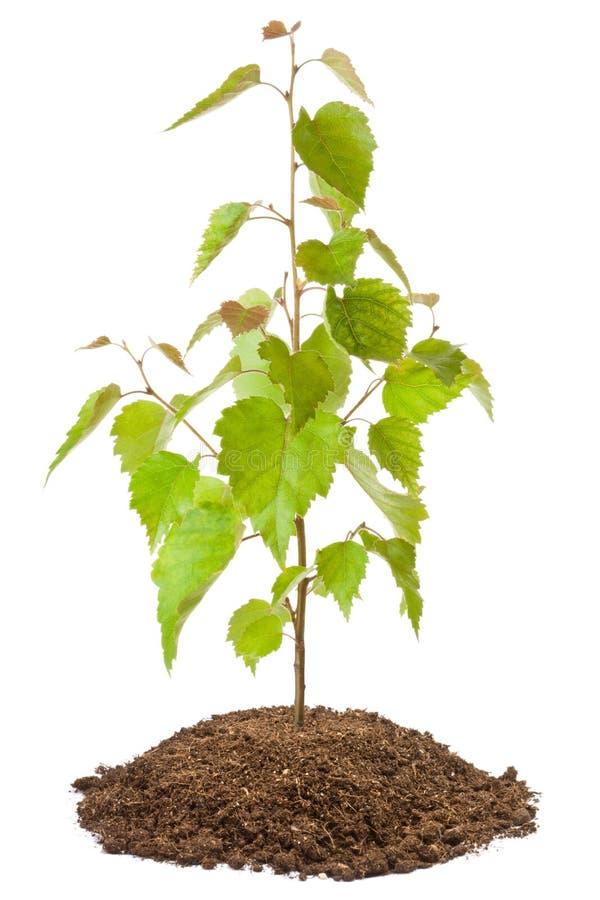 Young birch sapling royalty free stock photo