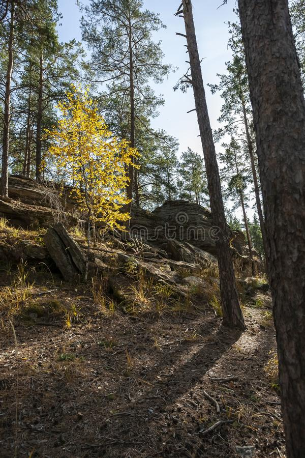Young birch with yellow autumn leaves in a pine forest royalty free stock image