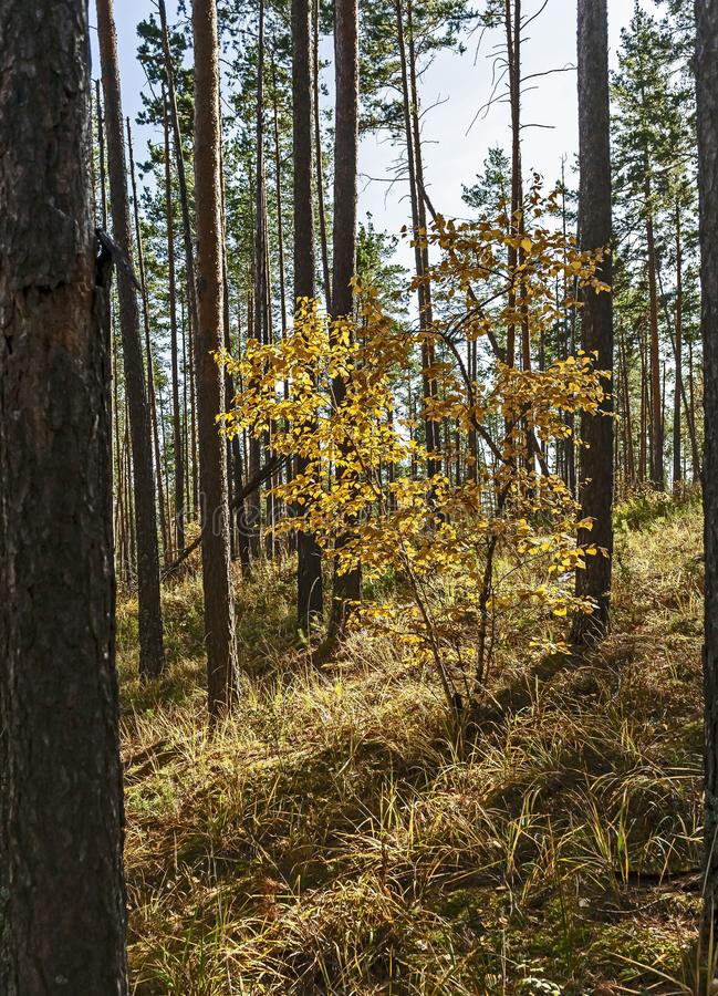Young birch with yellow autumn leaves in a pine forest royalty free stock photography