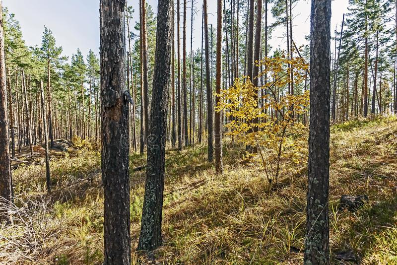 Young birch with yellow autumn leaves in a pine forest royalty free stock photos