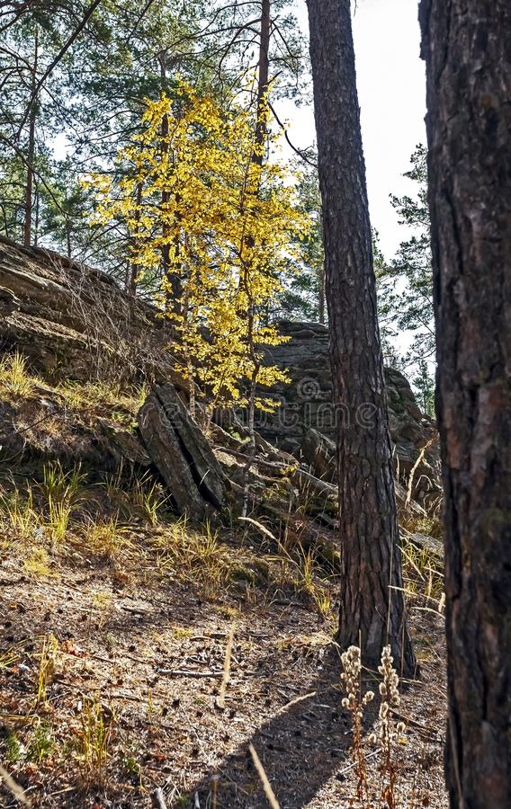 Young birch with yellow autumn leaves in a pine forest stock image