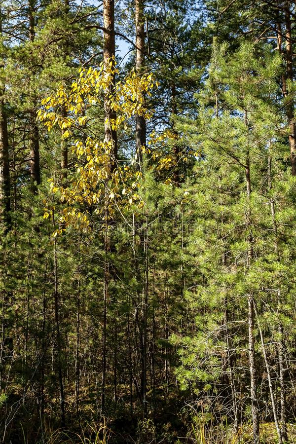 Young birch with yellow autumn leaves in a pine forest royalty free stock images