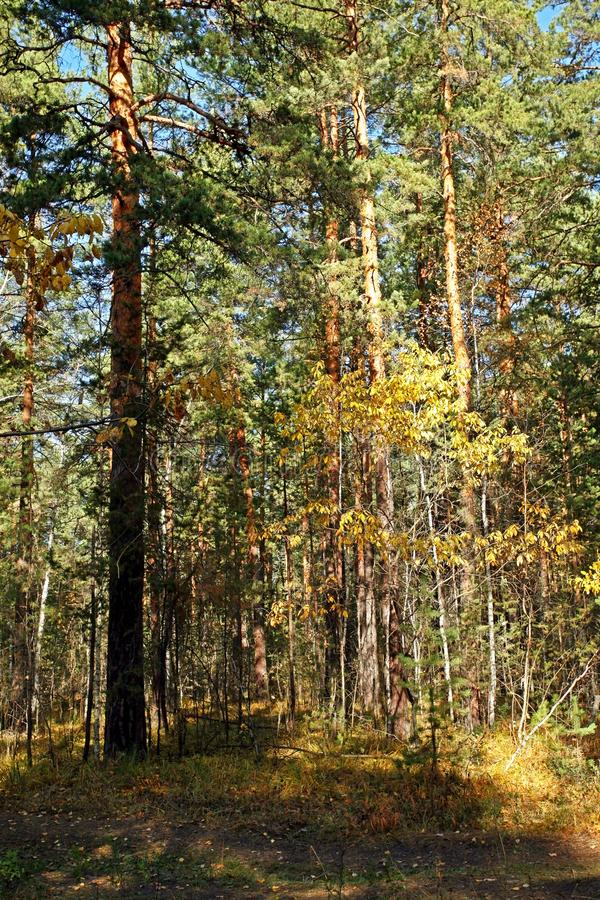 Young birch with yellow autumn leaves in a pine forest stock photo