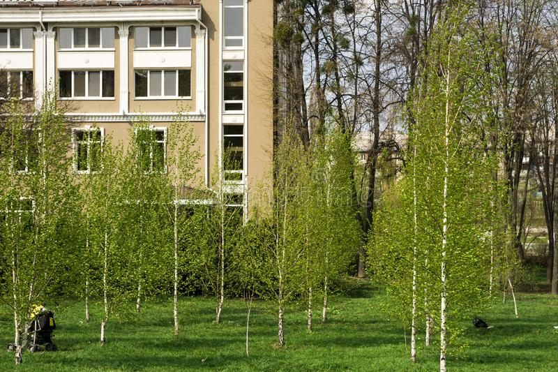 Young birches stock images