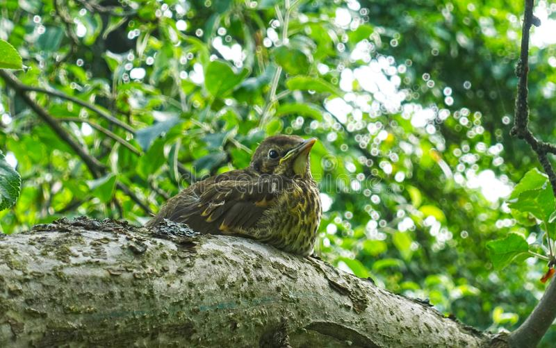 A young bird the blackbird sits on a tree. Among the leaves royalty free stock photography