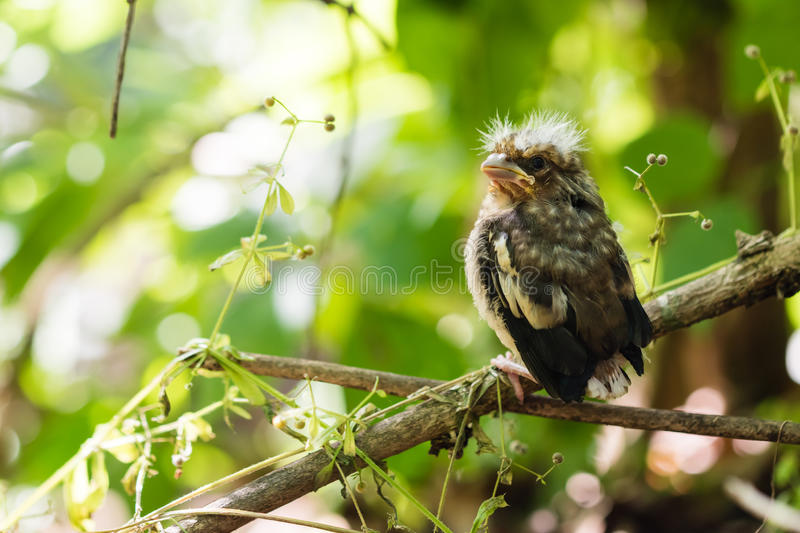 Young bird of the cuckoo stock images