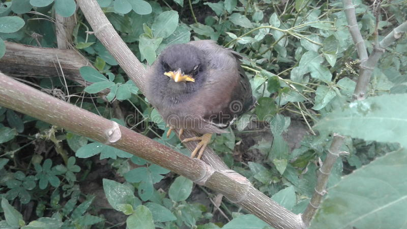 Young bird of myna. The nature of the myna birds lips or lags yellow colour stock images