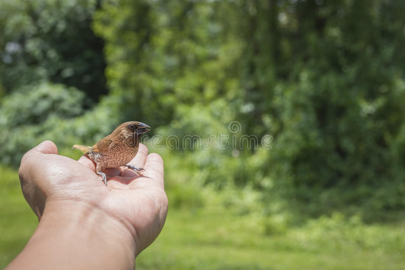 Young Bird Nestling House Sparrow Chick. In male Hands stock photo