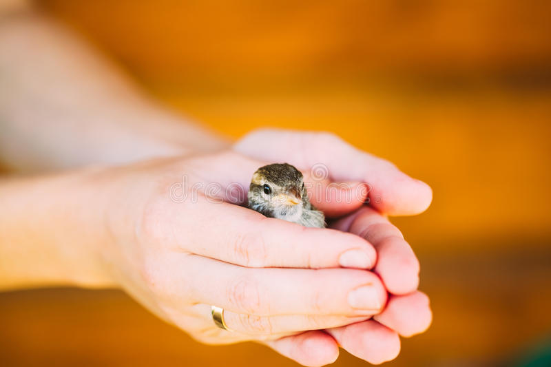 Young Bird Nestling House Sparrow - Passer. Domesticus - Chick In Female Hands royalty free stock photo