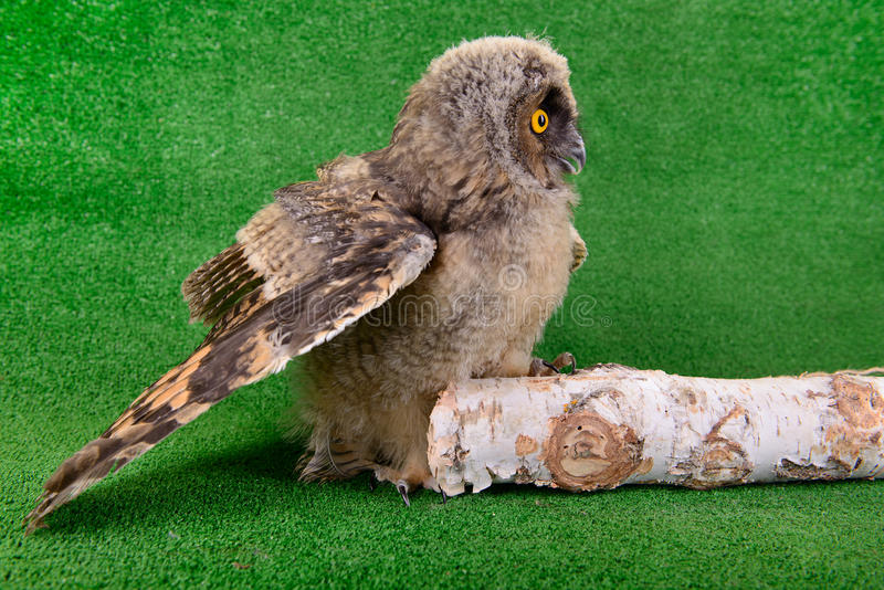 Young bird owl sitting royalty free stock photography