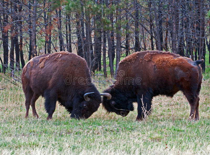 Young Bison Buffalo Bulls Sparring in Wind Cave National Park. American Bison Buffalo Sparring in Wind Cave National Park in the Black Hills of South Dakota USA stock photo