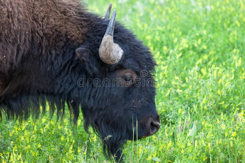 Young Bison Bull Profile royalty free stock photo
