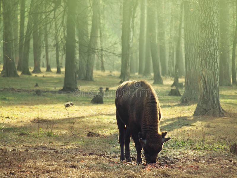Young bison child pasturing on the meadow stock image