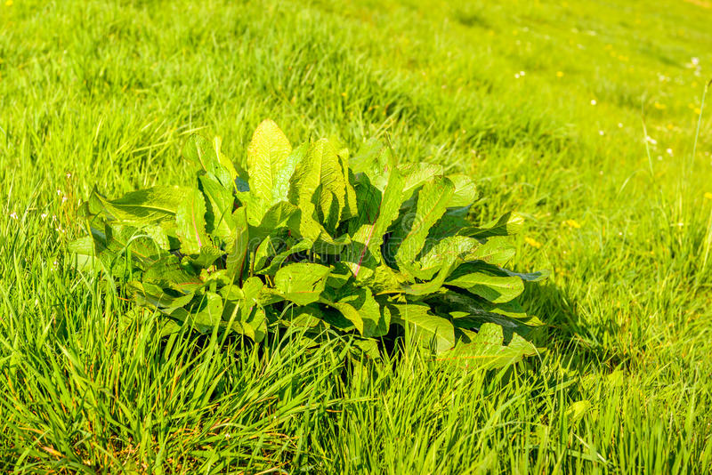 Young bitter dock plant between grasses in springtime. Fresh green broad-leaved dock or Rumex obtusifolius plants between the blades of grass growing at the royalty free stock images