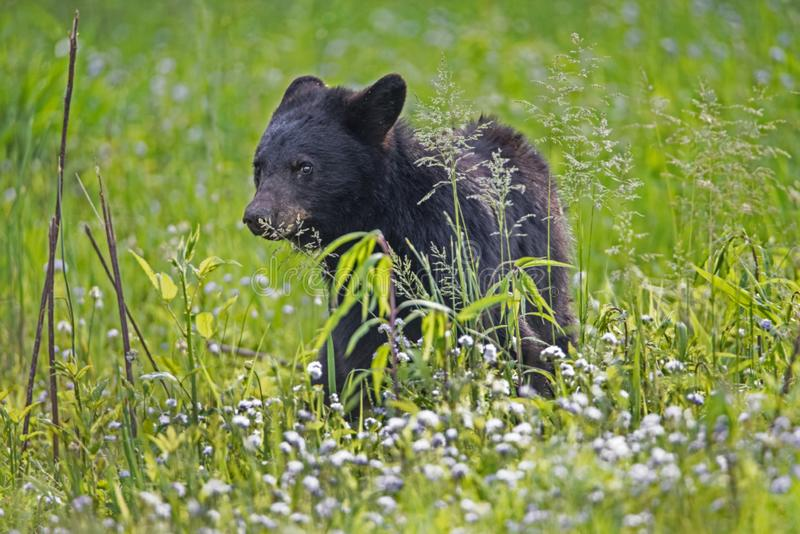 A young Black Bear Cub feeds on green grass. A Black Bear Cub chews on green grass stock photos