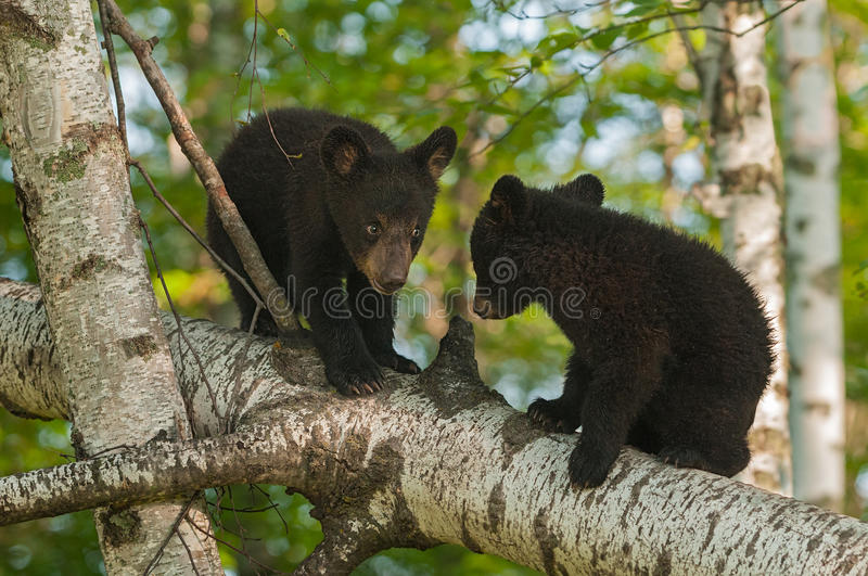 Young Black Bears (Ursus americanus) in Tree Confer. Captive animals stock image