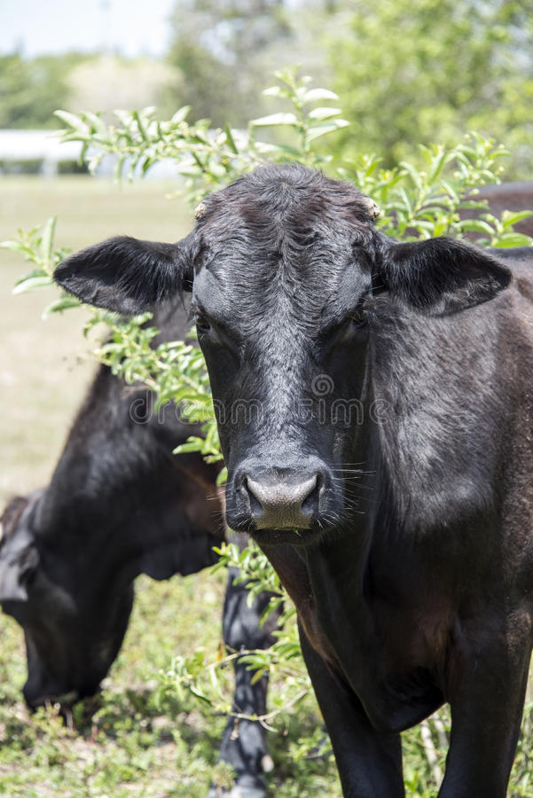 Young Black Bull royalty free stock images