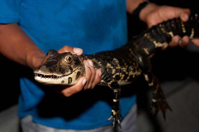 Young black caiman. Captured by a native of the jungle royalty free stock images
