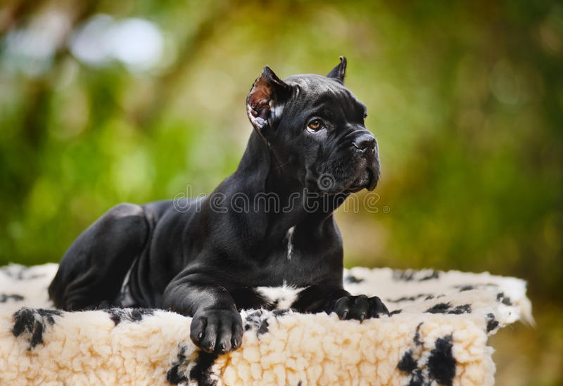 Download Young Black Cane Corso Puppy Lying On A Rug Stock Image - Image: 26810737