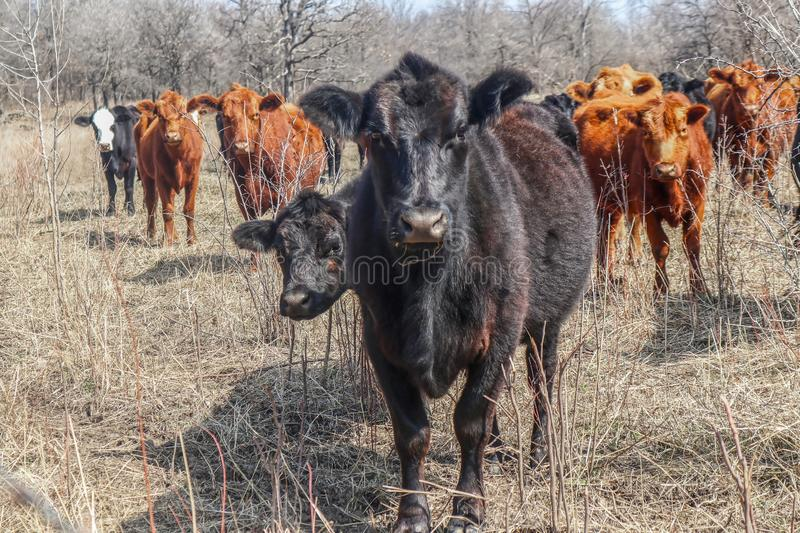 Young black cow with rest of herd behind staring suspiciously into camera out in winter field - they look like they are up to no stock image