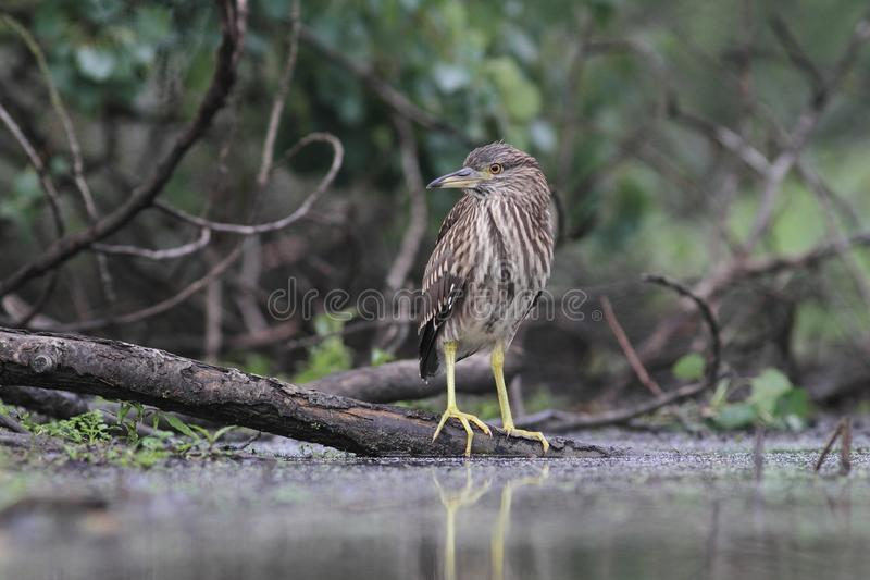Young Black-crowned Night Heron, Nycticorax nycticorax. With the fish, carp, catch, haul royalty free stock photo