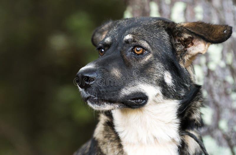 Young Black and German Shepherd Anatolian Shepherd mixed breed dog stock images