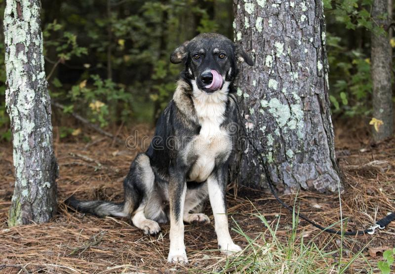Young Black and German Shepherd Anatolian Shepherd mixed breed dog royalty free stock image