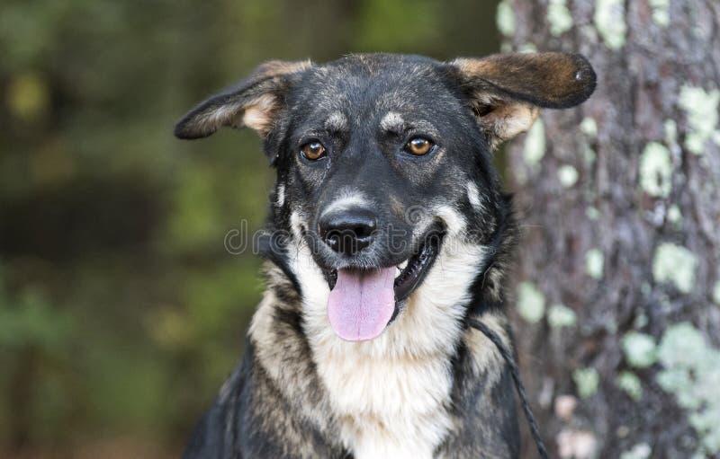 Young Black and German Shepherd Anatolian Shepherd mixed breed dog royalty free stock photo