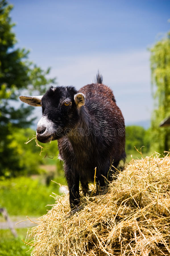 Download Young Black Goat Chewing Hay Stock Image - Image: 9809659