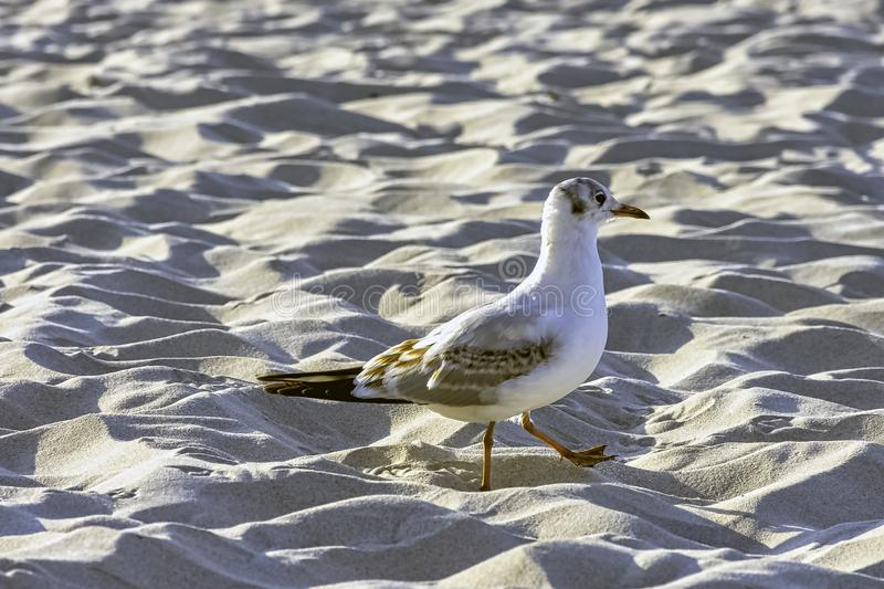 Young black-headed gull in winter plumage on Polish beach. Young black-headed gull / chroicocephalus ridibundus in winter plumage on Polish beach royalty free stock photo