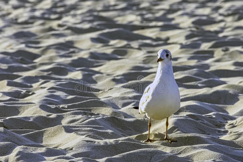 Young black-headed gull in winter plumage on Polish beach. Young black-headed gull / chroicocephalus ridibundus in winter plumage on Polish beach stock photography