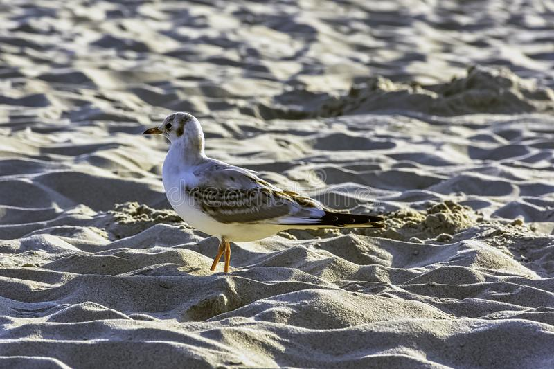 Young black-headed gull in winter plumage on Polish beach stock photo