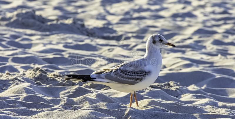 Young black-headed gull in winter plumage on Polish beach. Young black-headed gull / chroicocephalus ridibundus in winter plumage on Polish beach stock photos