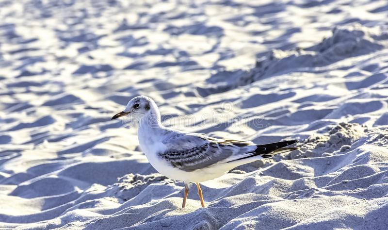 Young black-headed gull in winter plumage on Polish beach. Young black-headed gull / chroicocephalus ridibundus in winter plumage on Polish beach stock images