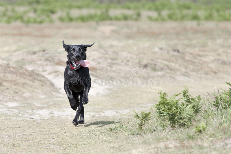 Young Black Labrador Running in the Countryside