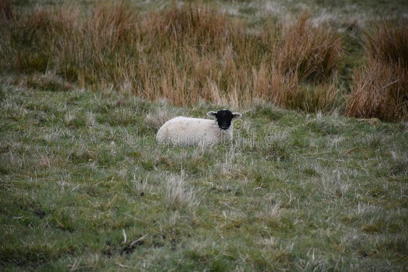 Young Black Lamb Resting in a Field in the Dales royalty free stock image
