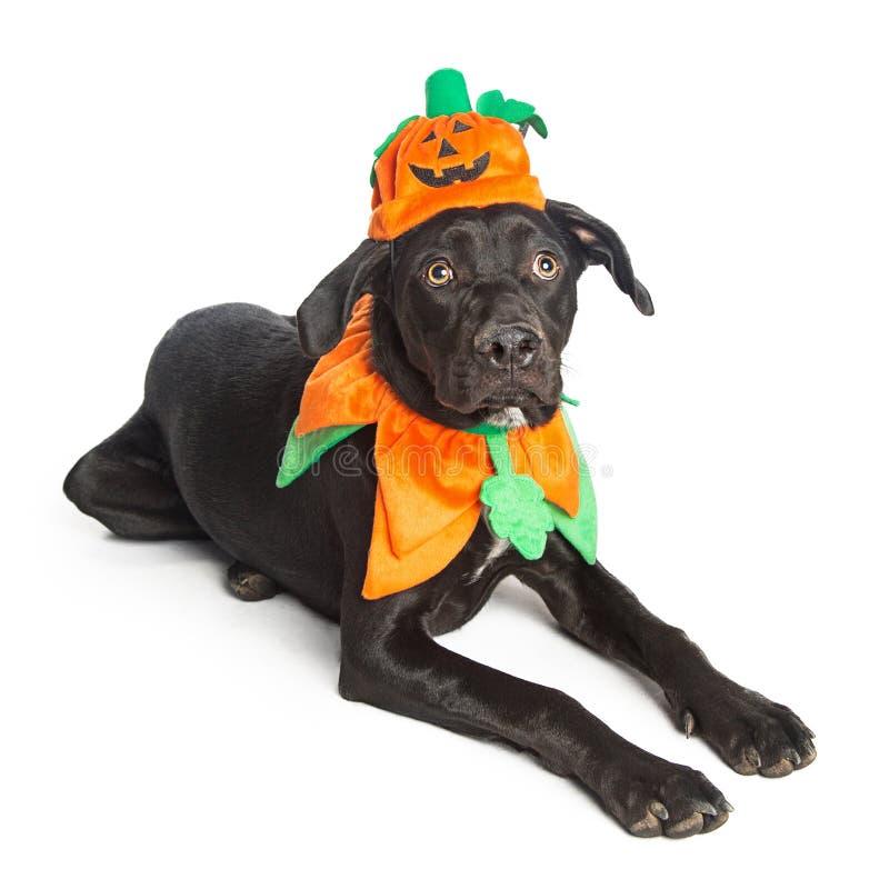 Cute Black Dog in Pumpkin Costume. Young black large dog wearing Halloween pumpkin costume royalty free stock photo