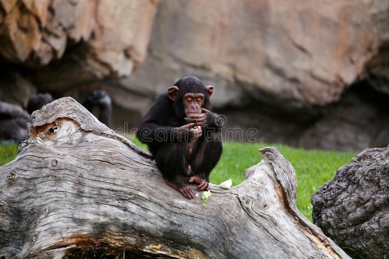 Young black mankey chimpanzee sitting on a large tree. Onion eating chimpanzee covering his face with his hand stock photo