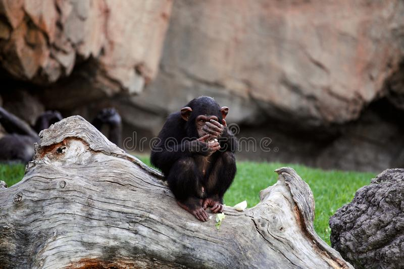 Young black mankey chimpanzee sitting on a large tree. Onion eating chimpanzee covering his face with his hand royalty free stock photography