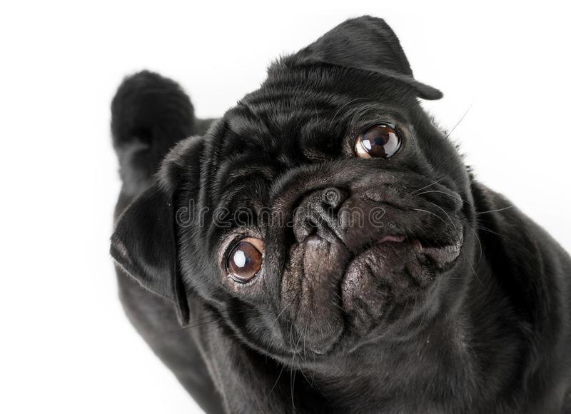 Young black pug dog isolated royalty free stock photography