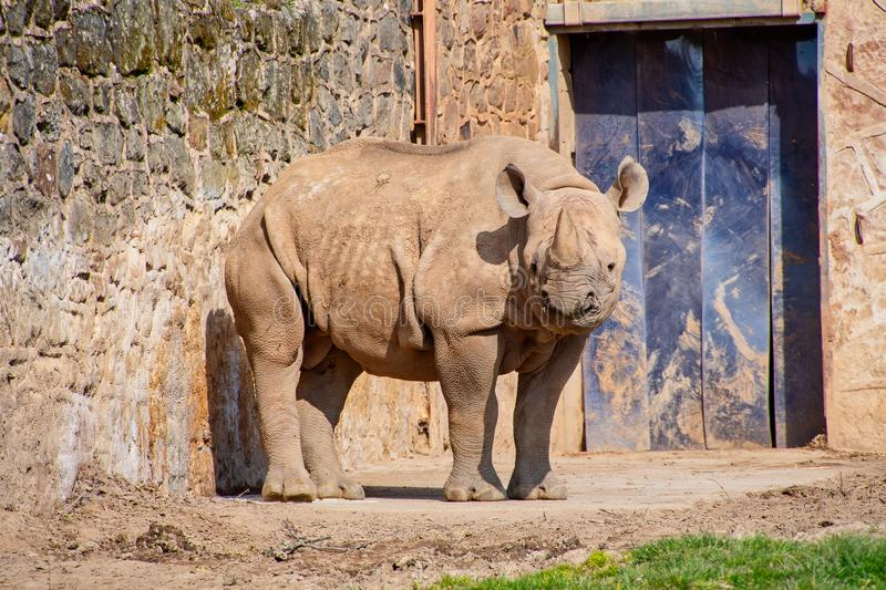 Young Black Rhino. In its enclosure at a zoo stock photo
